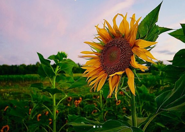Van Houtte Farms Sunflower