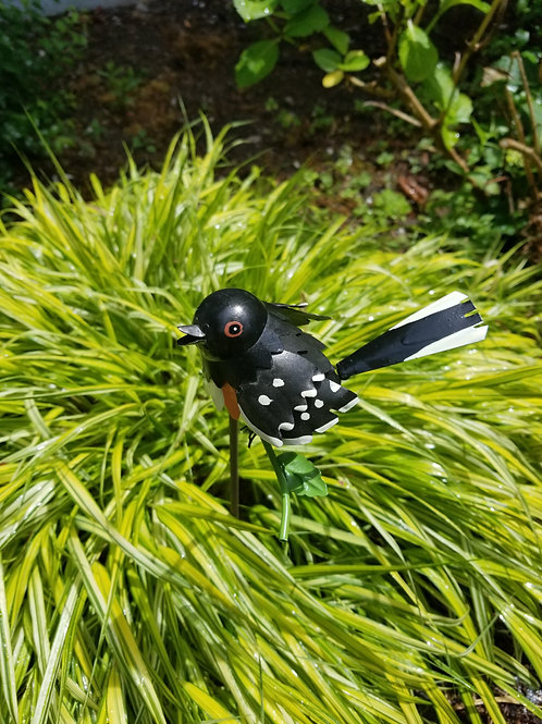 BIRD: Spotted Towhee
