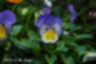 Blue & yellow violas