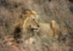 Lion | Toursim in Fort Portal