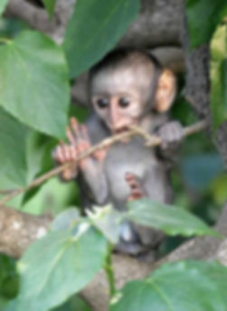 Monkey | Tourism in Fort Portal