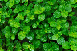 bigstock-Green-Leaves-Background-In-The-67389010