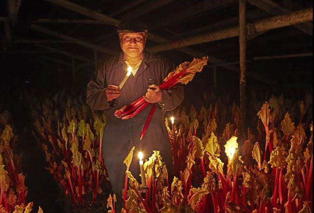 rhubarb spends the winter hibernating in the dark, with growers traditionally harvesting only by candlelight