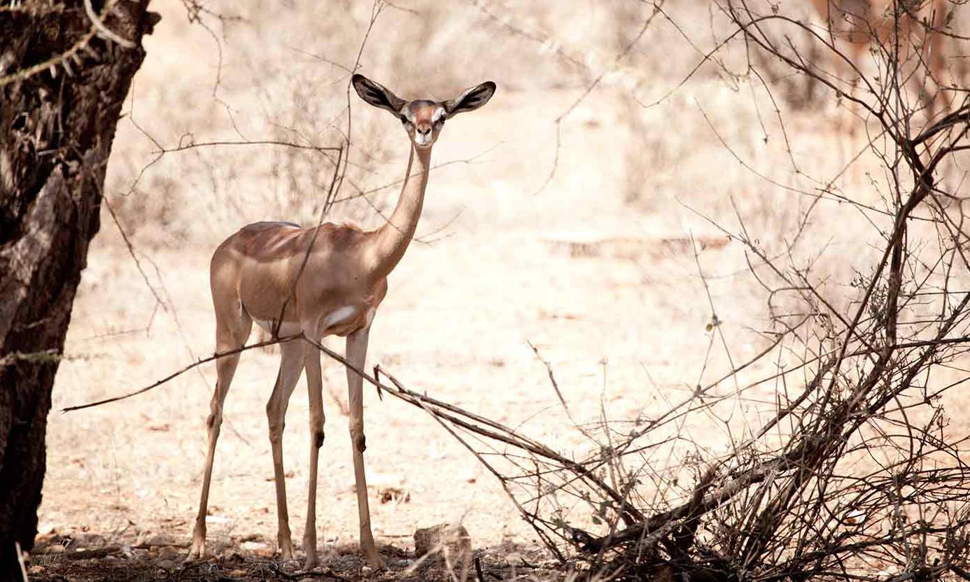 Gerenuk in Samburu.jpg