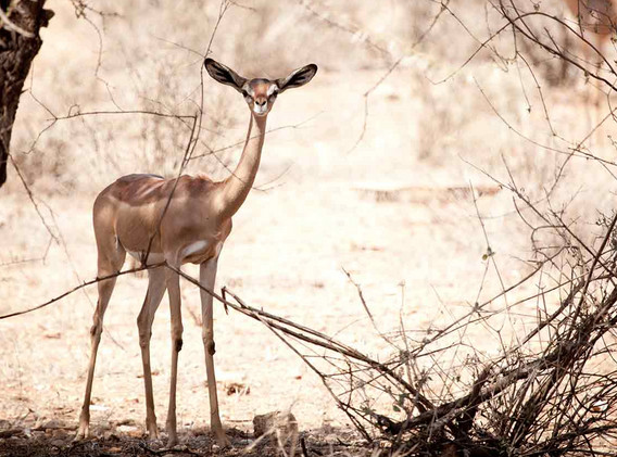 Gerenuk in Samburu.jpg