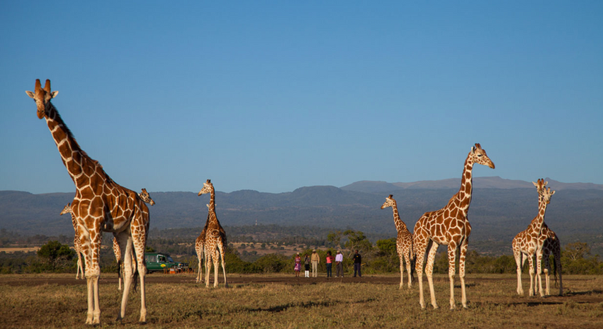 Giraffes at the National Park.png