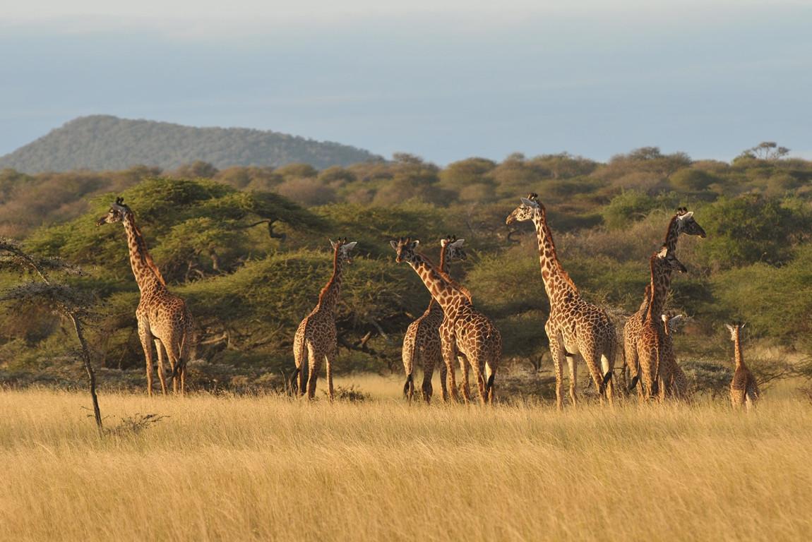 Giraffes in Tsavo West.jpg