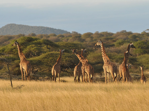 Giraffes in Tsavo West.jpg