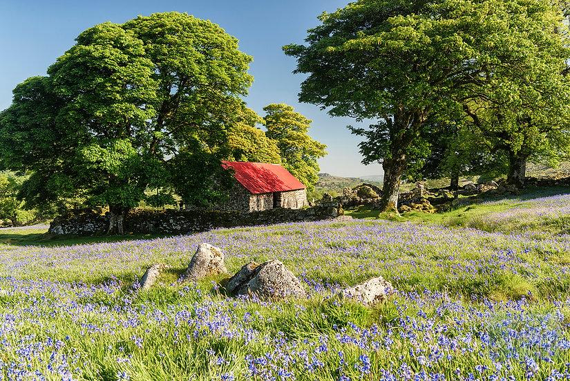Bluebells at Emsworthy Mire Dartmoor