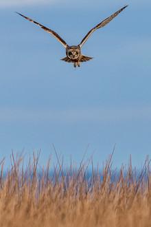 Short Eared Owl - Exmoor