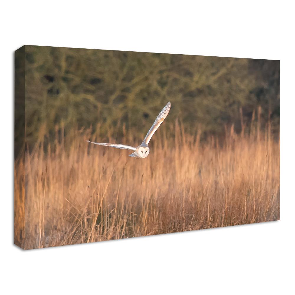 Barn Owl Canvas