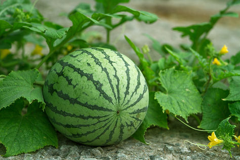 Green watermelon growing in the garden.j
