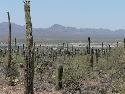 Cacti in the desert.