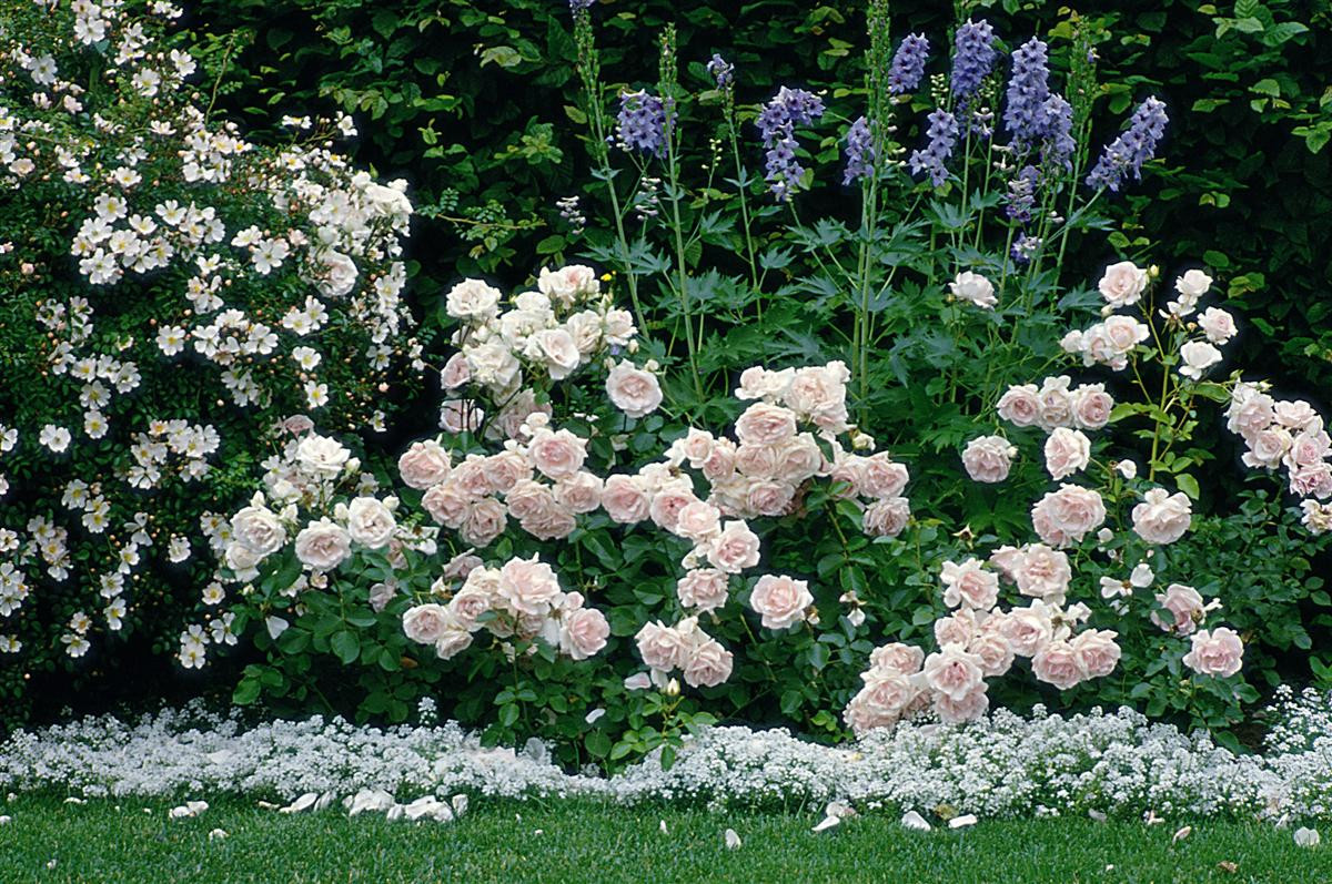 Rosen+Begleitpflanzen.jpg
