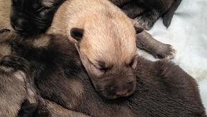 Chibi Puppy.jpg