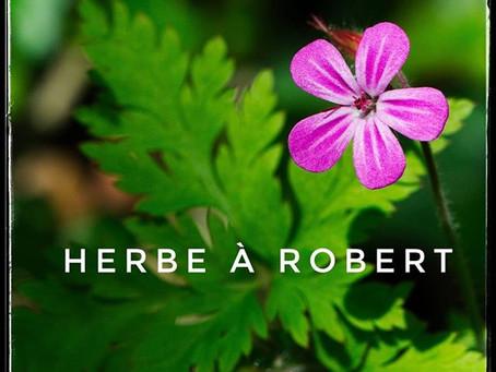 L'herbe à robert ou géranium sauvage Robert 🌿