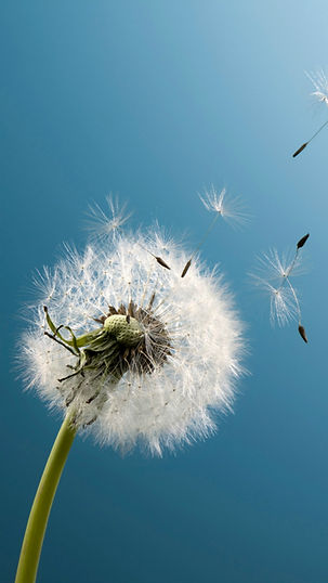Pure-Aesthetic-Dandelion-Blowing-Blue-Sk