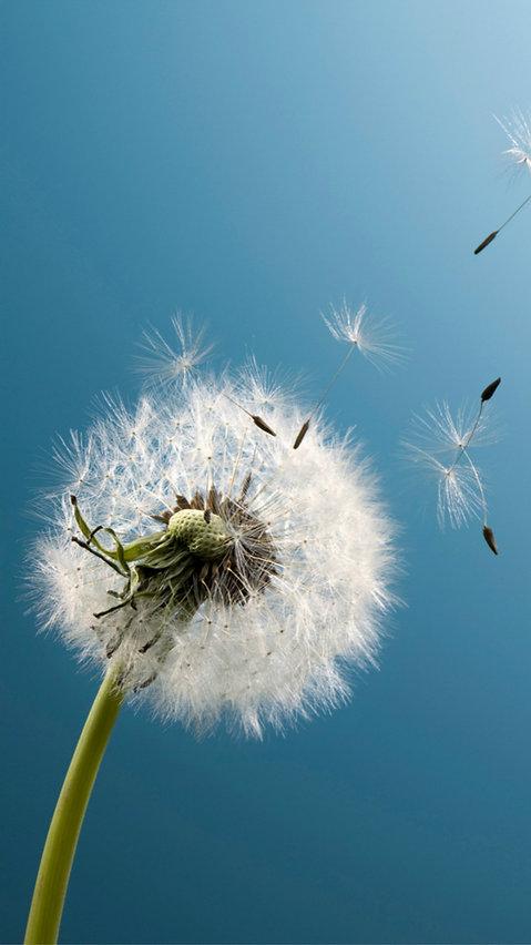 Pure-Aesthetic-Dandelion-Blowing-Blue-Sk