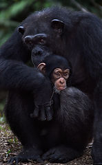 Goofie and Denyon the chimpanzees