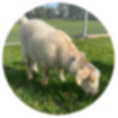Circle goat 1.jpg