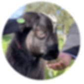 Black goat with feed.jpg