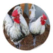 Circle Roosters.jpg