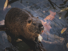 Beavers Brought Back to Help Prevent Flooding in UK