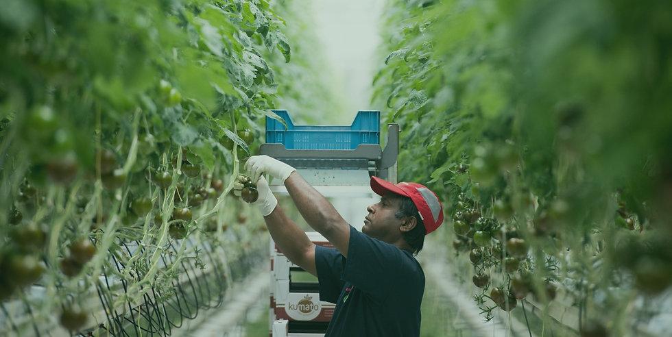 Het oogsten van tomaten