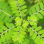 Thai herb. Chamberbitter, gripeweed, sha