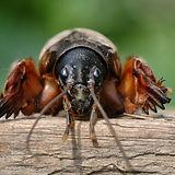 Mole crickets. Eyes to eyes.jpg