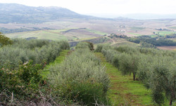 OLIVE ROWS