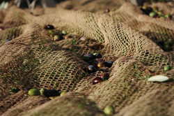 OLIVES IN THE NET