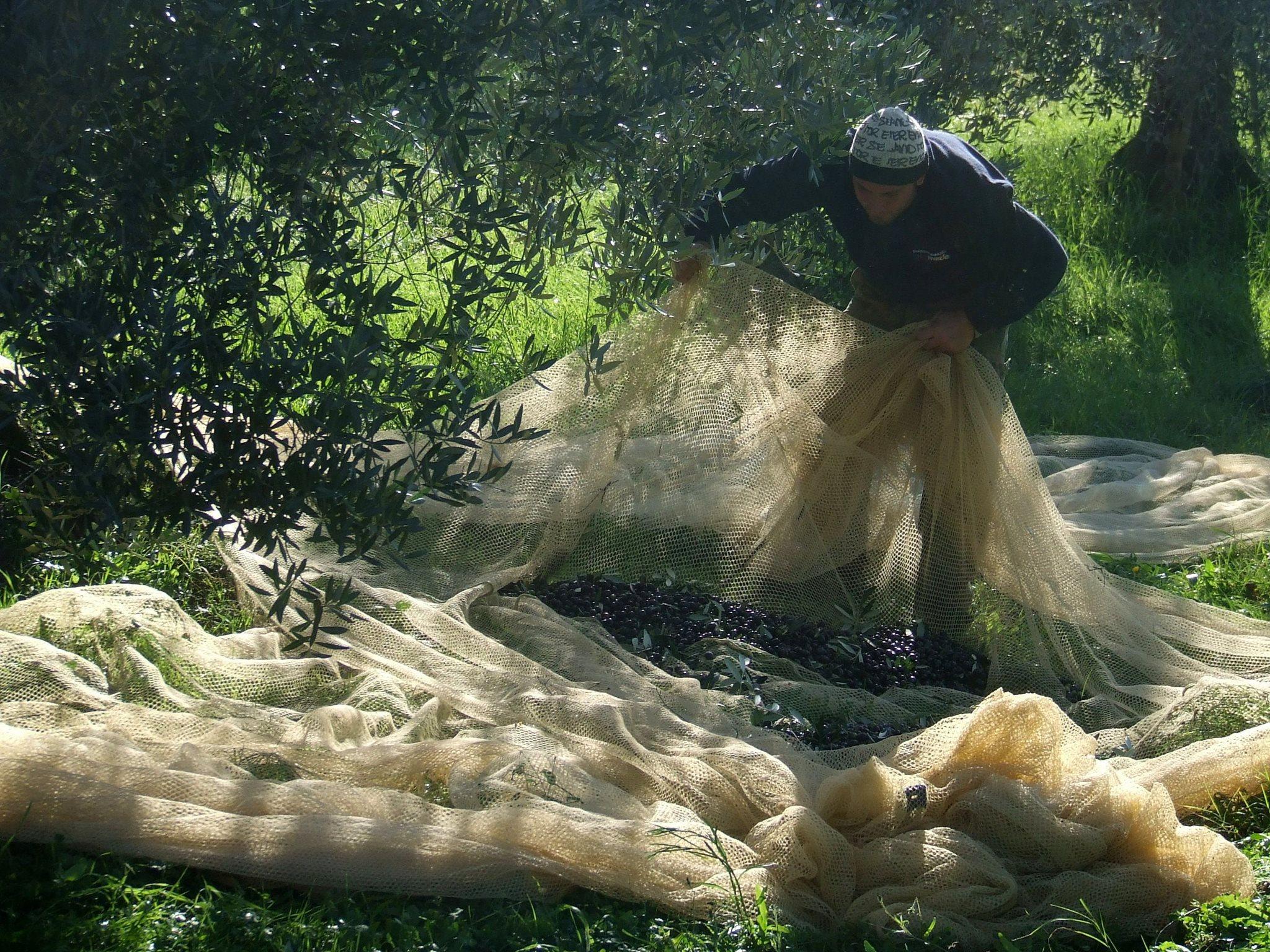Olives' Harvest