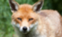 red-fox-head-on-davidcallan-istock.jpg