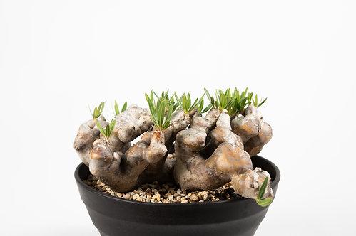 Pachypodium densiflorum var. brevicalyx パキポディウム ブレビカリックス