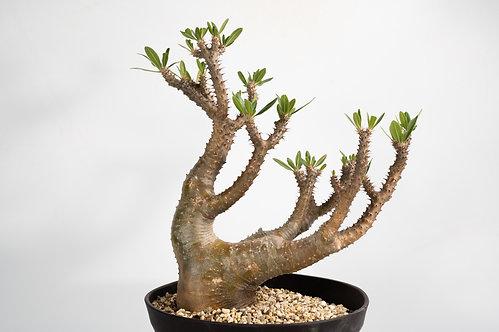 Pachypodium makayense マカイエンセ