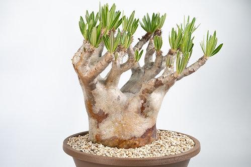 Pachypodium rosulatum var. inopinatum パキポディム イノピナツム