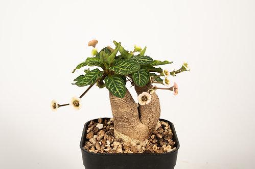 Euphorbia 'Fishbone'フィッシュボーン