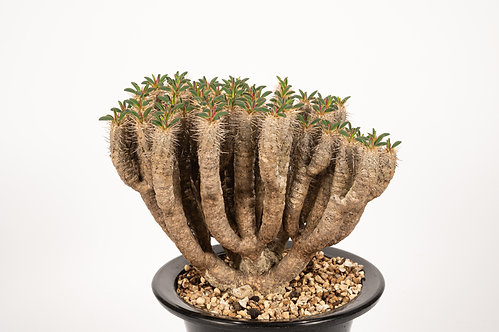 Euphorbia guillauminiana ギラウミニアナ