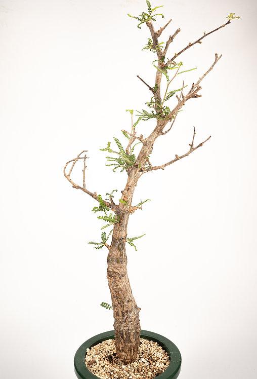 Operculicarya hyphaenoides ヒファエノイデス