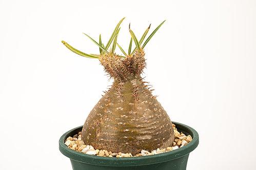Pachypodium Gracilius パキポディウム グラキリス