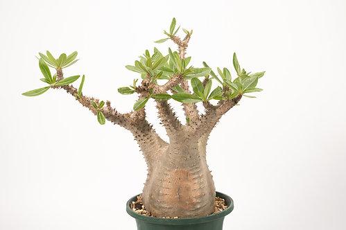Pachypodium makayense パキポディウム マカイエンセ