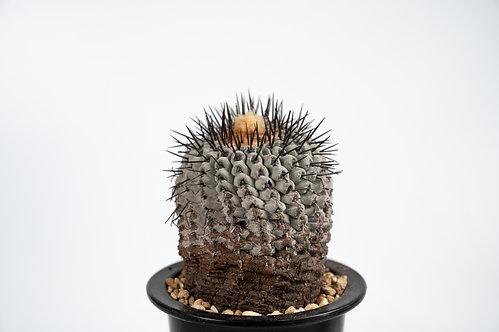 Copiapoa cinerea var. columna-alba 孤竜丸