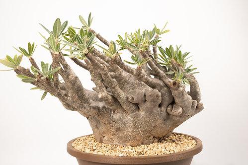 Pachypodium Gracilius crest パキポディウム グラキリス