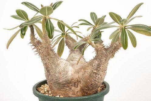 Pachypodium rosulatum var. cactipes パキポディウム カクチペス
