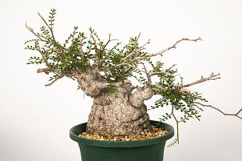 Operculicarya pachypus オペルクリカリア パキプス