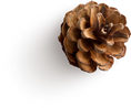 pinecone-7.png