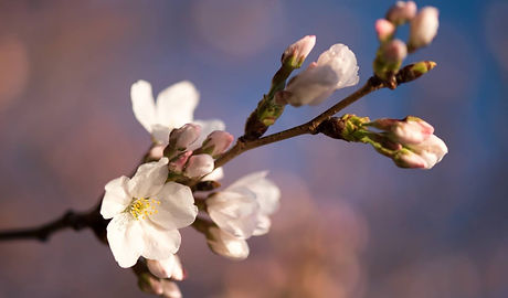 peach blossoms.jpg