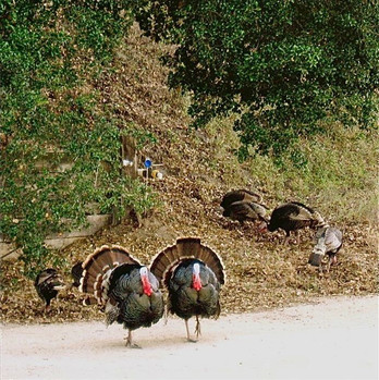 Our turkeys at the ranch might viist