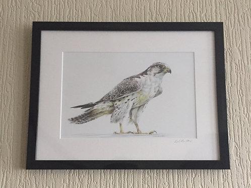 Saker Falcon signed, mounted framed print